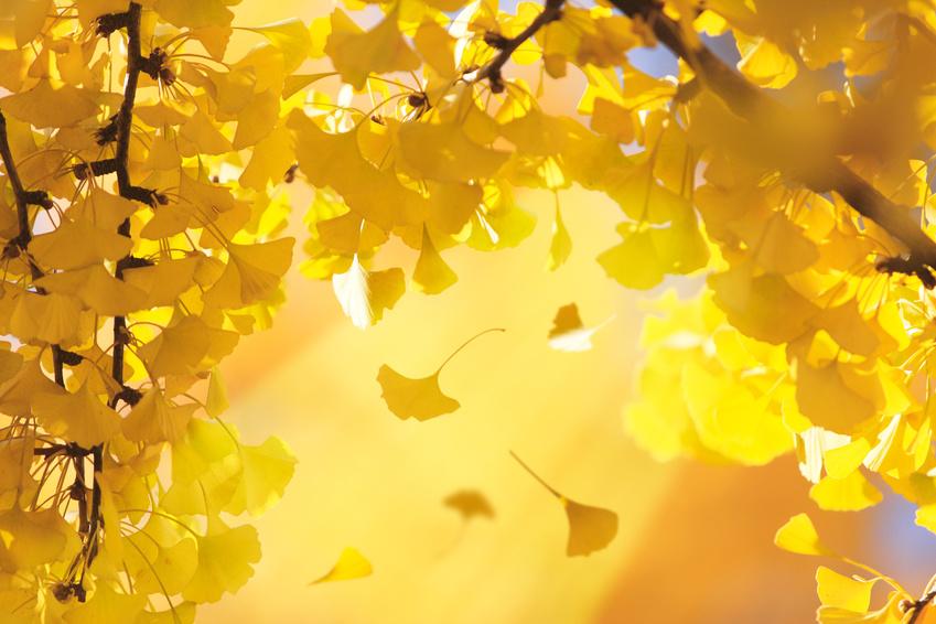 秋のイチョウ
