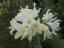 【わたしの一花】5月18日あなたの花は『アマリギア・パーケリー』〜365日のバースデーフラワー~